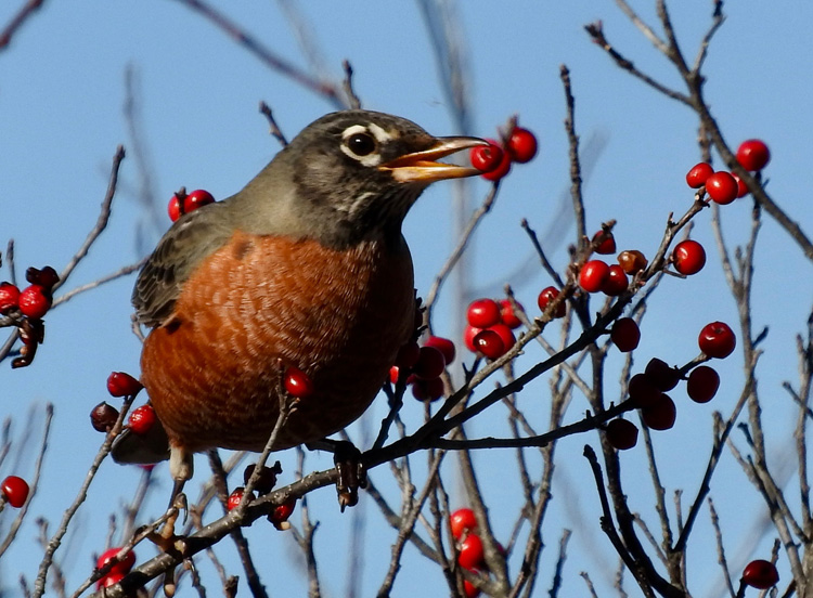 American Robin Eating Winterberries © Alan B. Ward