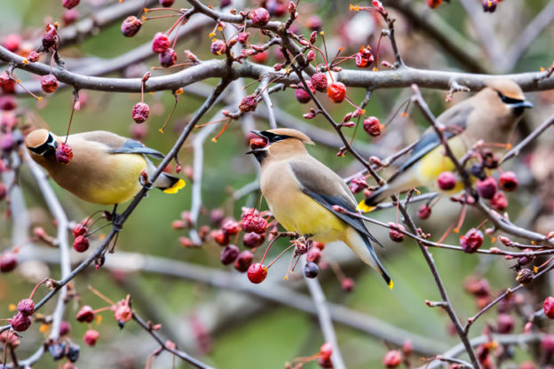 Cedar Waxwings on a variety of crab apple © Stephen Kent