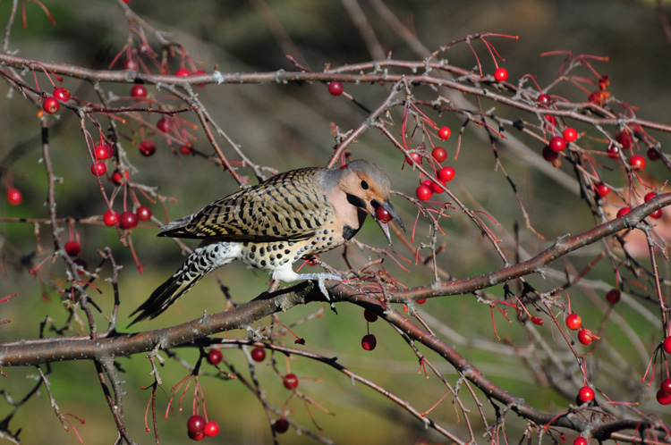 Northern Flicker on a variety of crab apple © Peggy Chao
