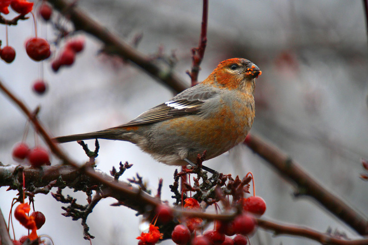 Pine Grosbeak on a variety of crab apple © Kevin Bourinot
