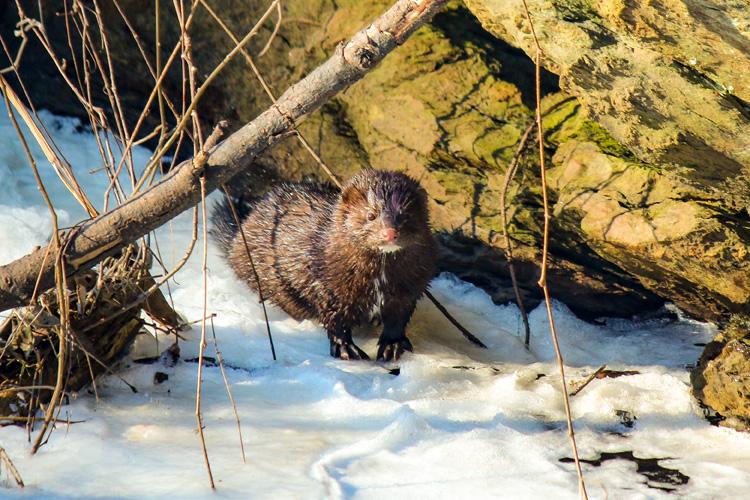American Mink © Jason Barcus