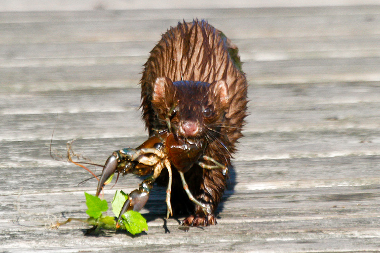 American Mink with Crayfish © John Harrison