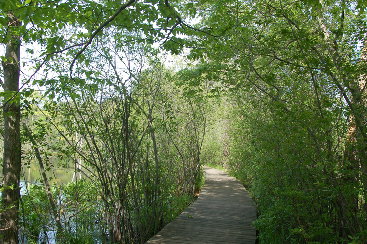 Boardwalk choked by Glossy Buckthorn