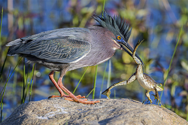 Green Heron copyright Michael Snow