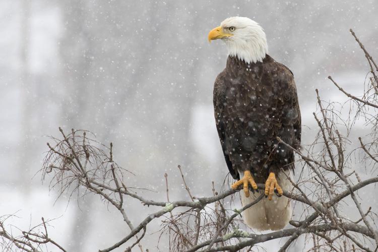 Bald Eagle © Kyle Wilmarth