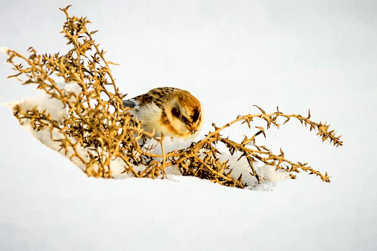 Snow Bunting © Myer Bornstein