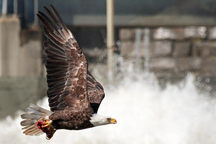 Bald Eagle © Dan Davis