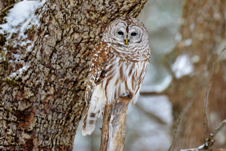 Barred Owl © Robert Watroba