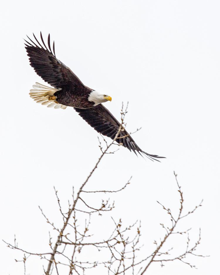 Bald Eagle © Lea Fiega