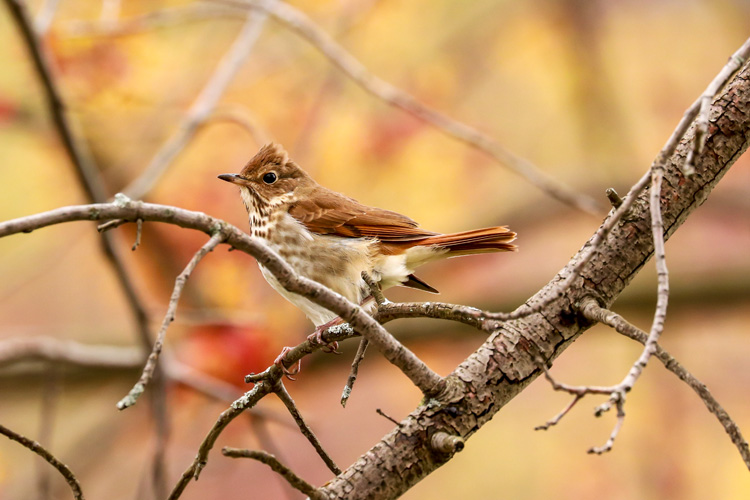 Hermit Thrush © Anthony Lischio