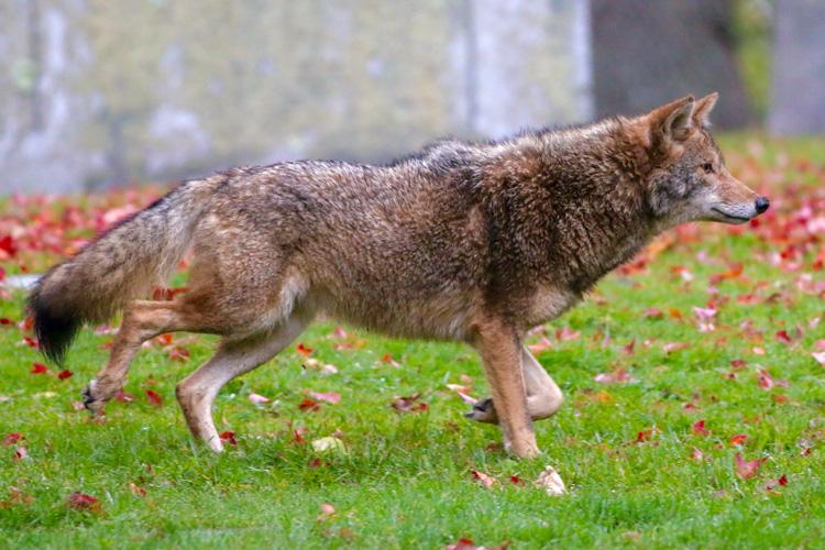 Coyote © Brian Rusnica