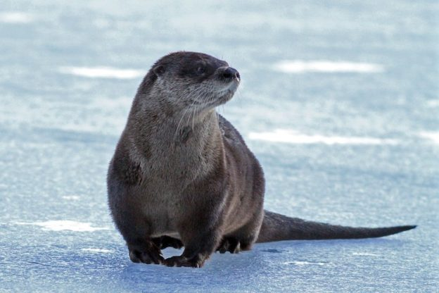 River Otter © Jim Morelly