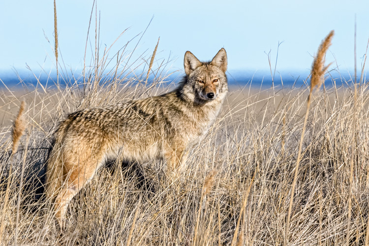 Coyote © Nancy Graupner