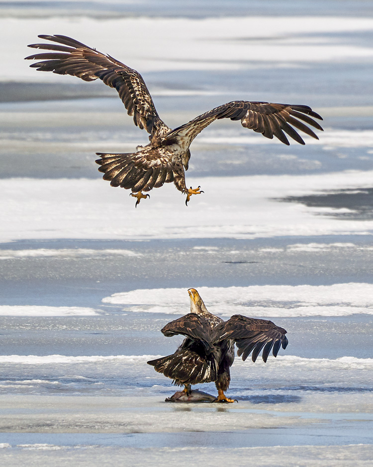 Bald Eagles © Jenny Zhao