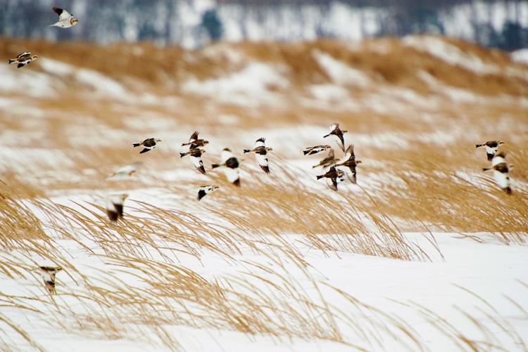 Snow Buntings © Simi Rabinowitz