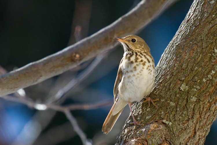 Hermit Thrush © Mark Rosenstein