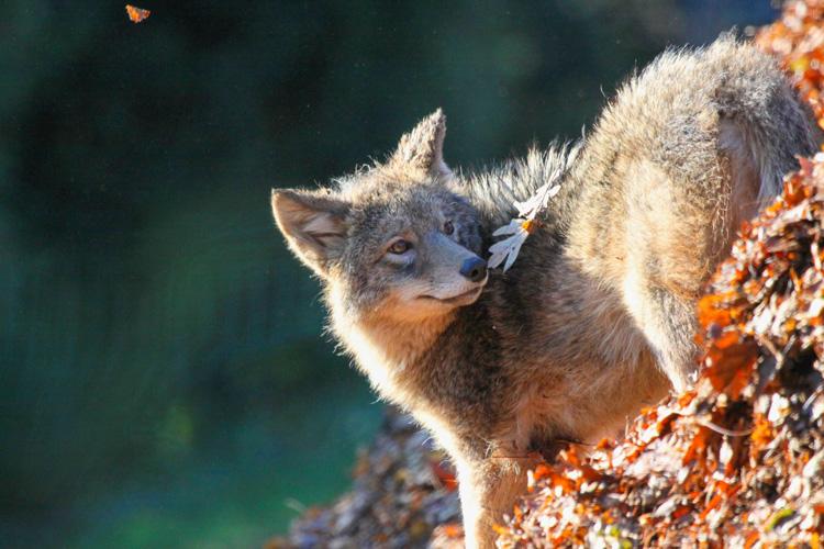 Coyote © Kim Nagy