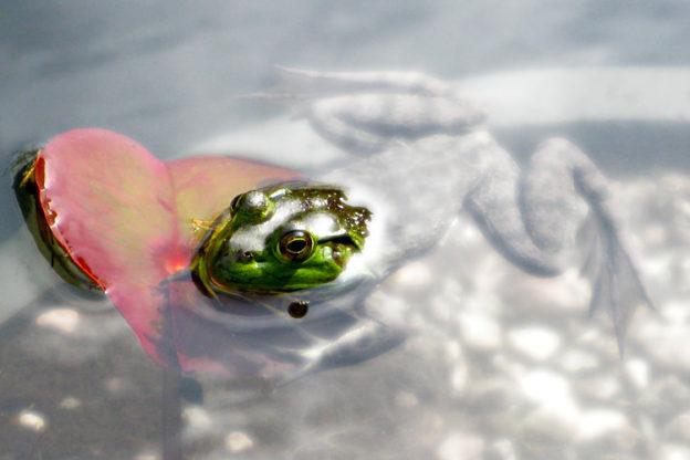 American Bullfrog © Vesna Maneva