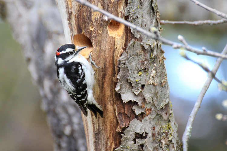 Downy Woodpecker © Bruce Gilman