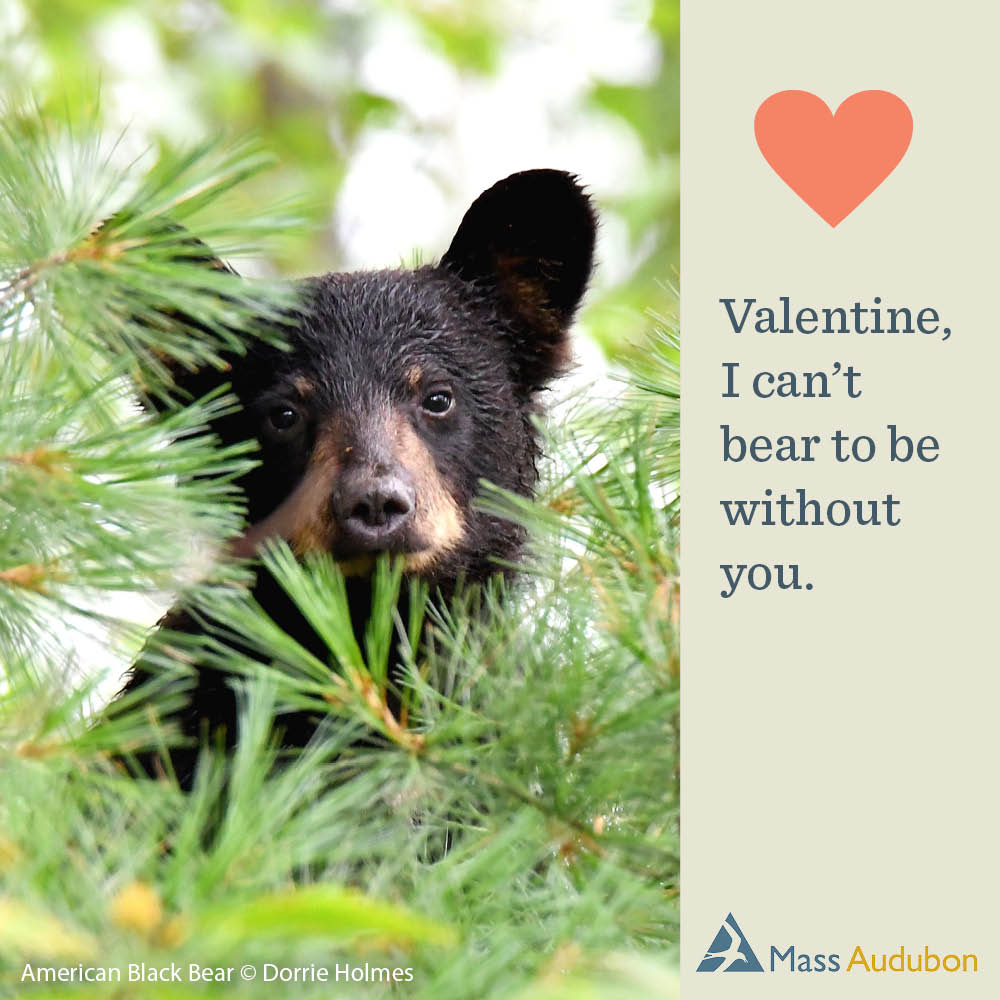 Valentine, I can't bear to be without you. American Black Bear Photo © Dorrie Holmes