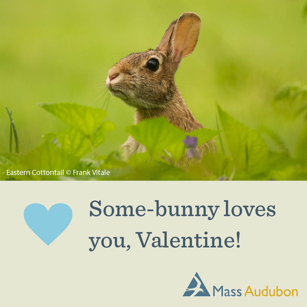 Some-bunny loves you, Valentine! Eastern Cottontail Photo © Frank Vitale