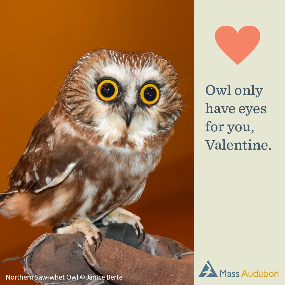 Owl only have eyes for you, Valentine. Northern Saw-whet Owl Photo © Janice Berte