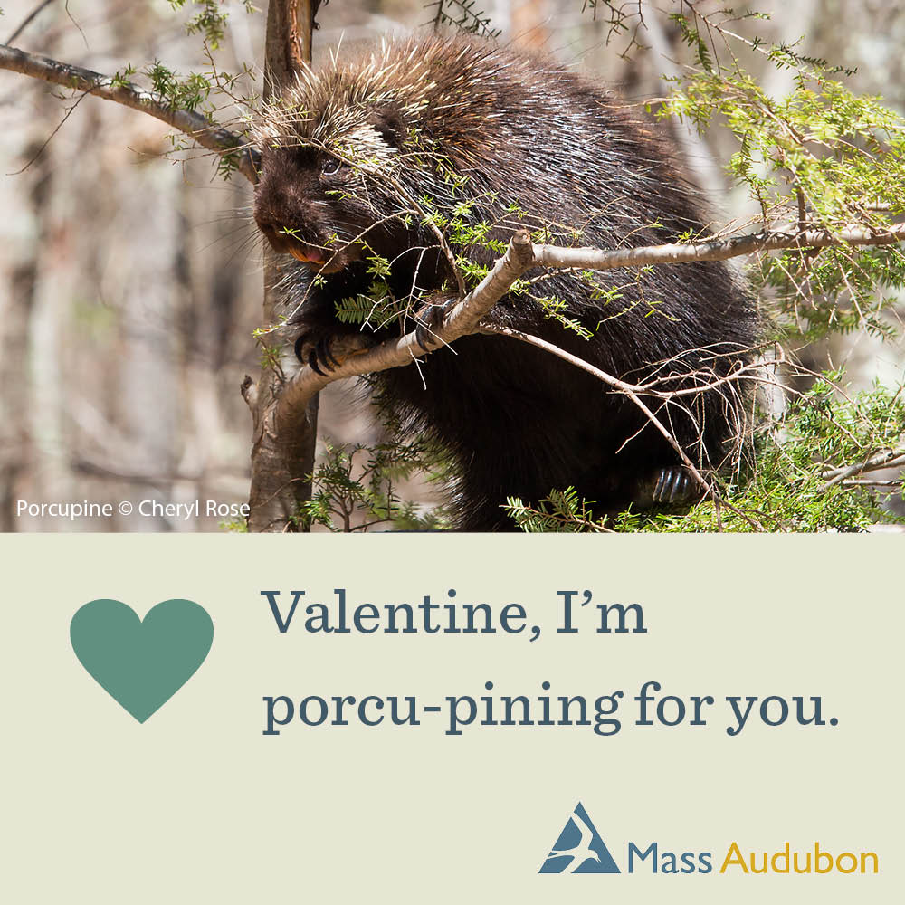 Valentine, I'm porcu-pining for you. Porcupine Photo © Cheryl Rose