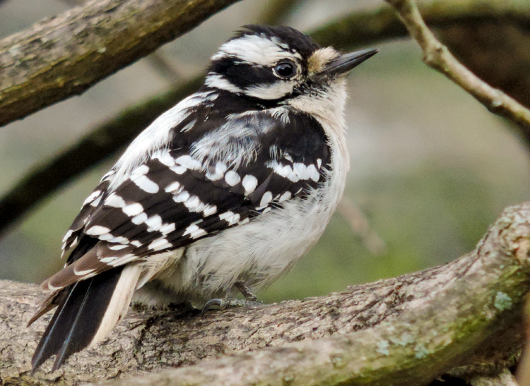 Downy Woodpecker © Elizabeth Ninemire