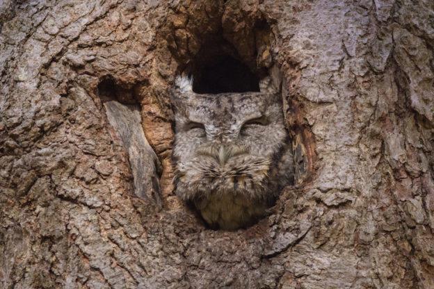 Eastern Screech-Owl © Linda MacMillan
