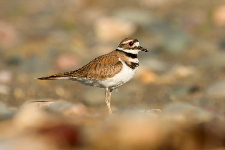 Killdeer © Nanci St. George