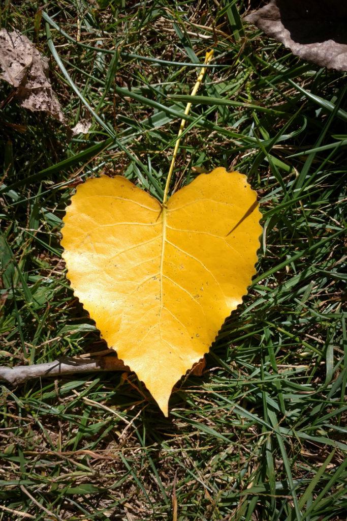 Eastern Cottonwood Leaf © Jennifer Wilson