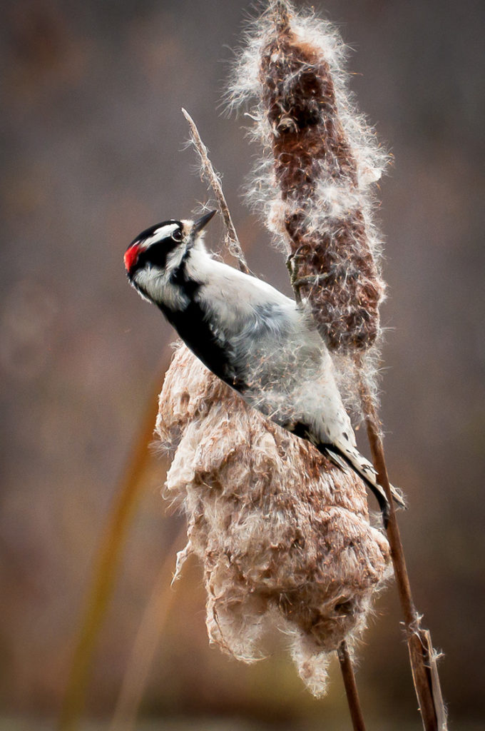 Downy Woodpecker © Rosemary Polletta