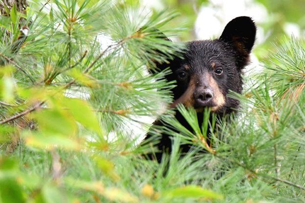 American Black Bear © Dorrie Holmes