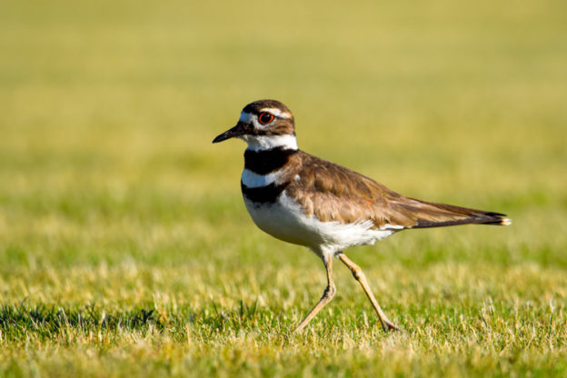 Killdeer © Jillian Paquette