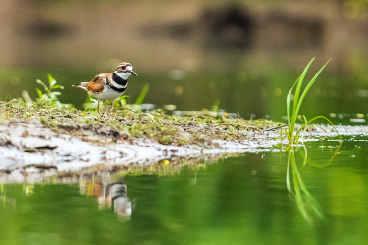 Killdeer © Latitia Duret