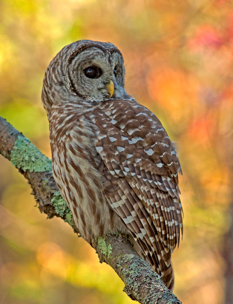 Barred Owl © Ronald Grant