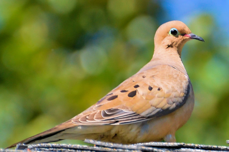 Mourning Dove © William Dow