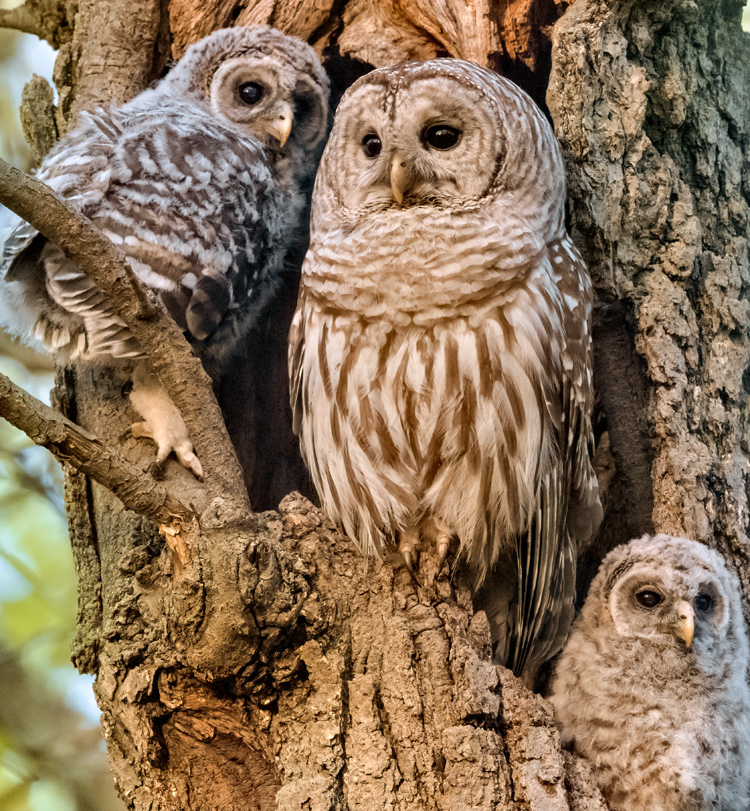Barred Owl with Young © Tina McManus