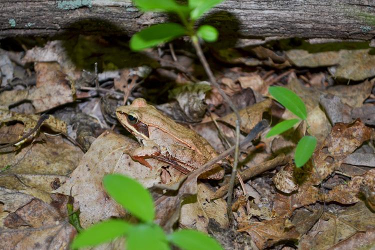 Wood Frog © Amanda De Rosa