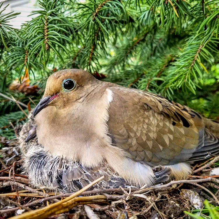 Mourning Dove © Jim Lynn