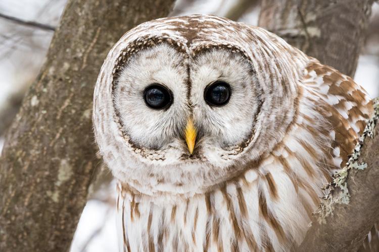 Barred Owl © Corey Nimmer
