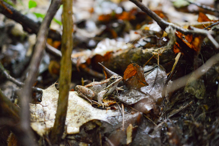Wood Frog © Lucas Beaudette