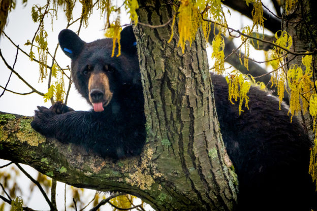 Black Bear © Jason Goldstein