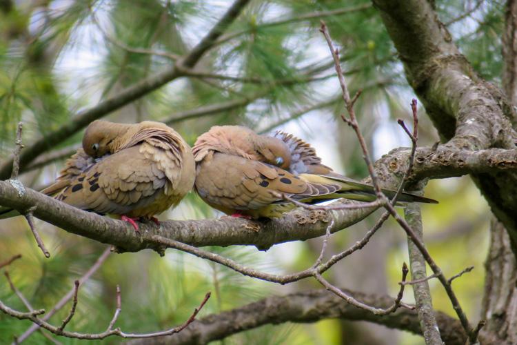 Mourning Dove © Eric Schultz