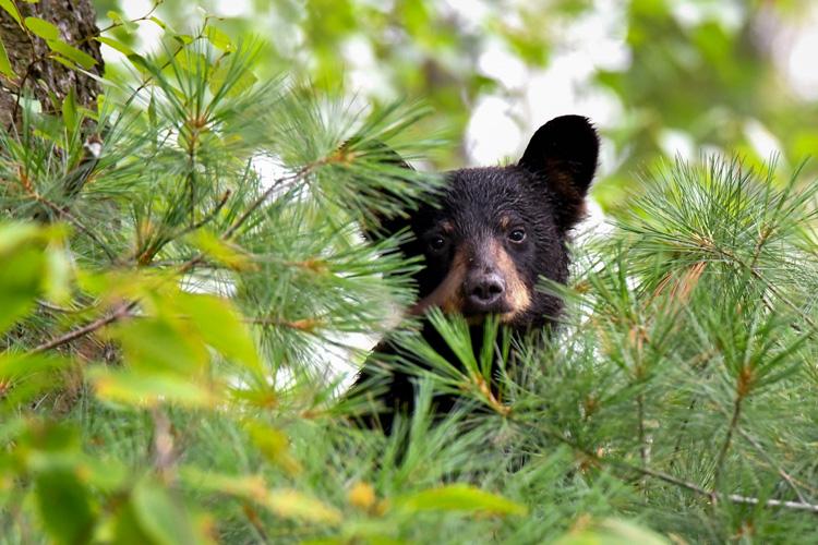 Black Bear © Dorrie Holmes
