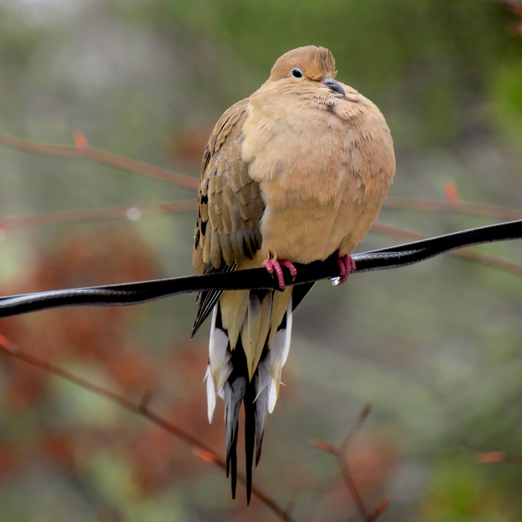 Mourning Dove © Matthew Eckerson