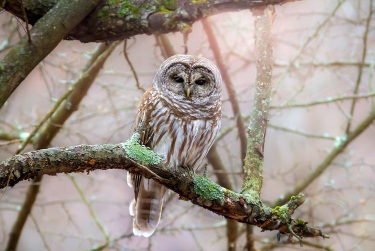 Barred Owl © Darya Zelentsova