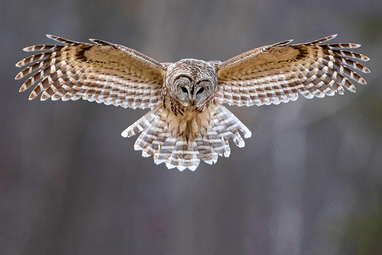 Barred Owl © Cynthia Rand