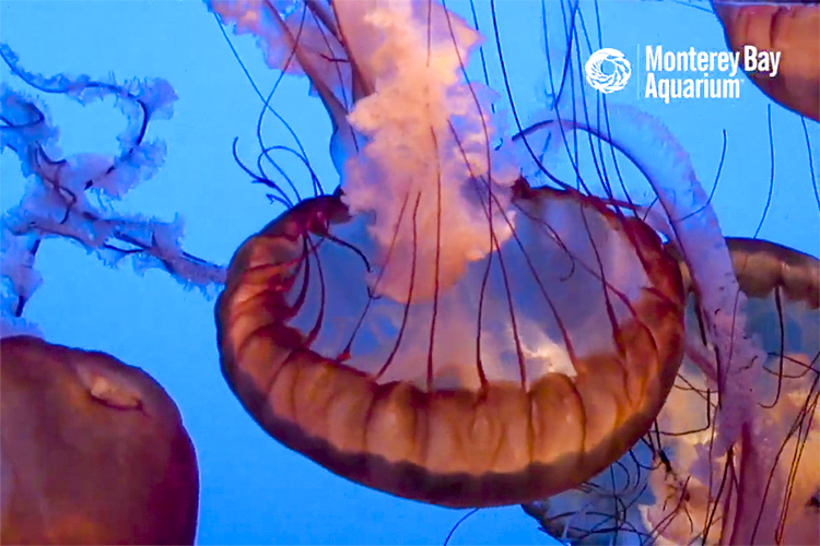 Screenshot of the Monterey Bay Aquarium Live Jellyfish Cam