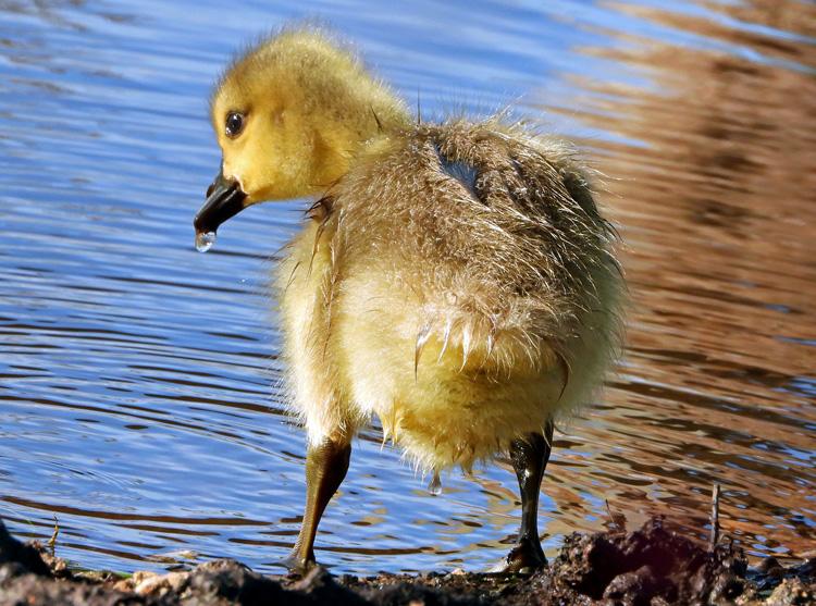 Canada Goose Gosling © Kathy Diamontopoulos